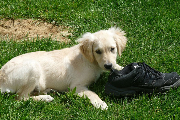 White dog playing with shoe