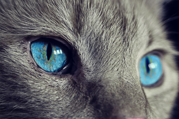 Cat blue eyes close up