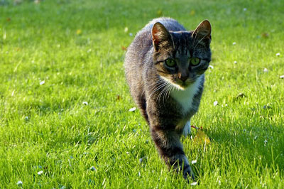 Cat walking on the grass