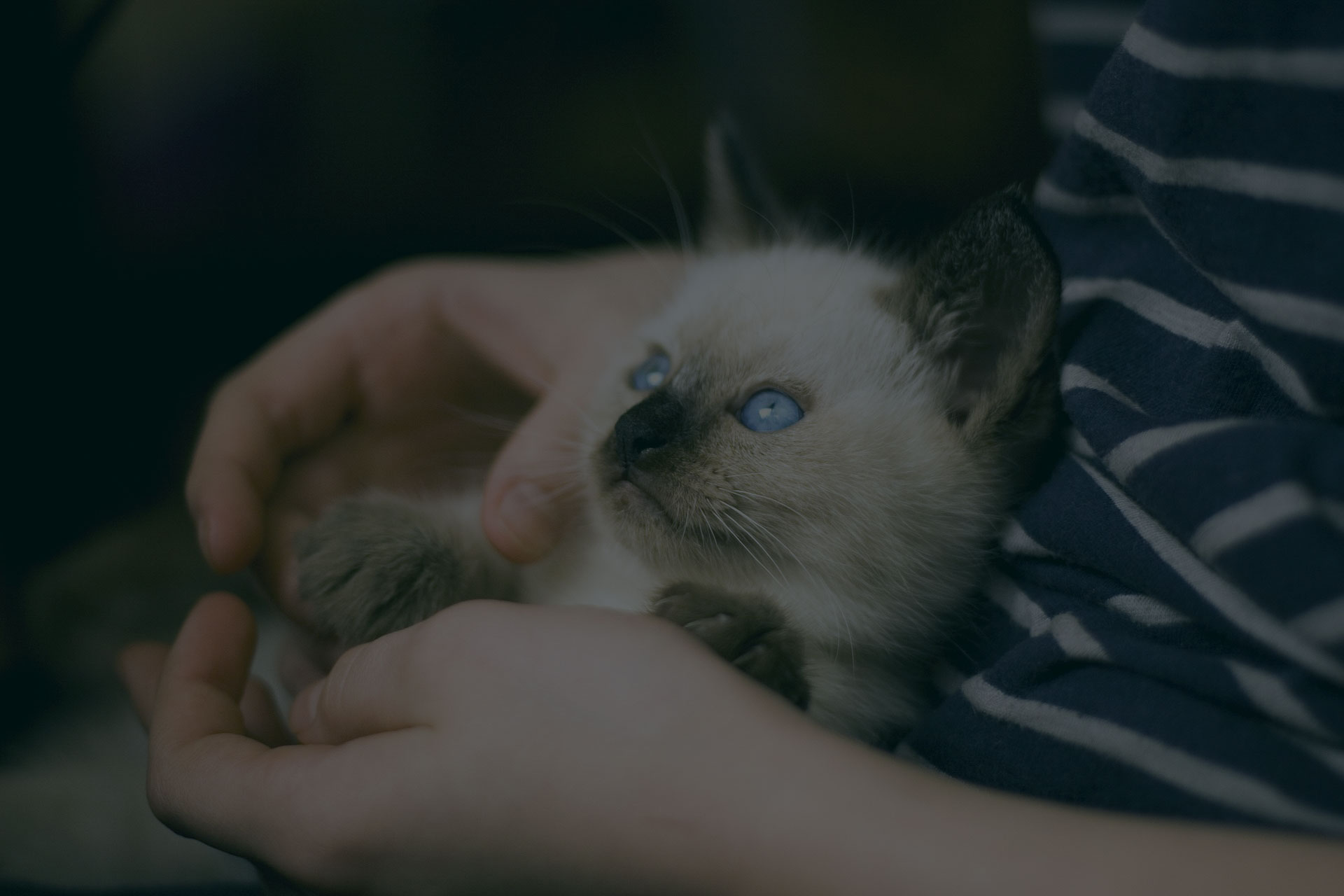 Cat with blue eyes in man lap