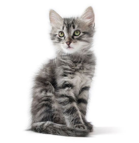 British kitten on white background
