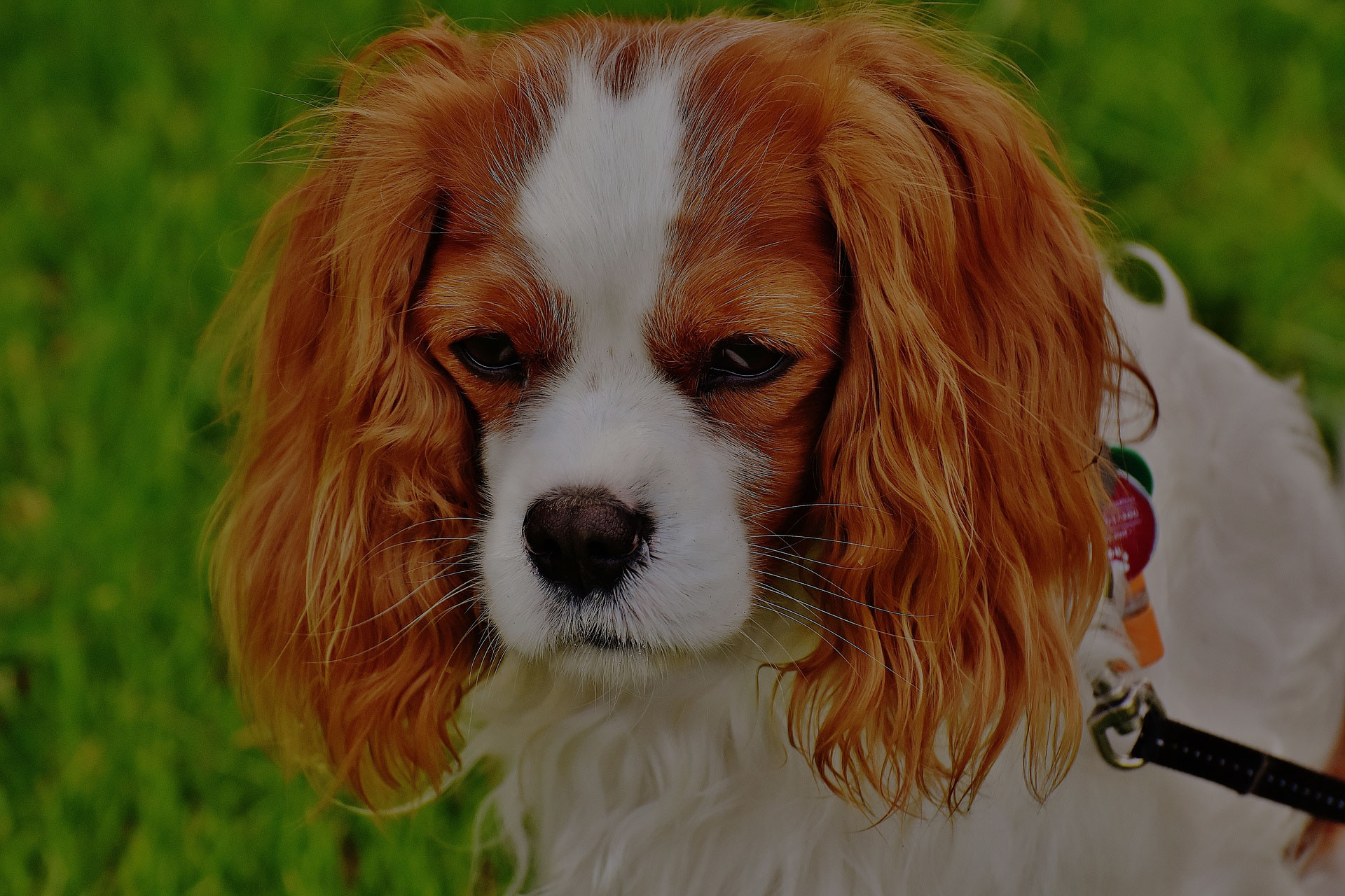 Cavalier King Charles Spaniel Pet Dog Animal Funny